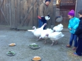 The turkeys approach the pies