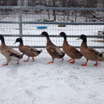 DucksInWinter