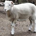 Clifford the sheep