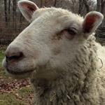 Jeremy the sheep