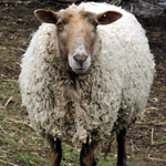 Samantha the sheep