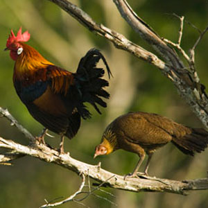 Burmese Jungle Fowl