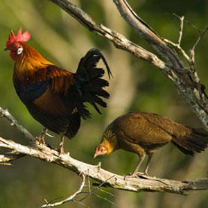 Burmese Jungle Fowl