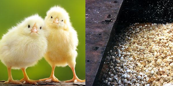 Baby chicks ground up
