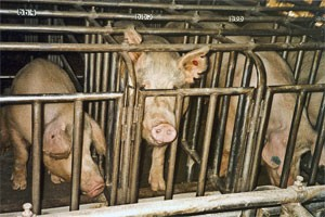 Pigs in gestational crates