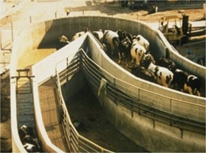 Cattle slaughter chute