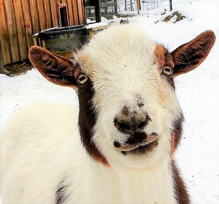 Goats – Safe Haven Farm Sanctuary